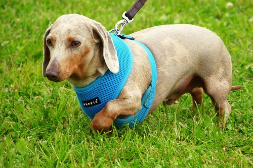 Dachshund walking across grass