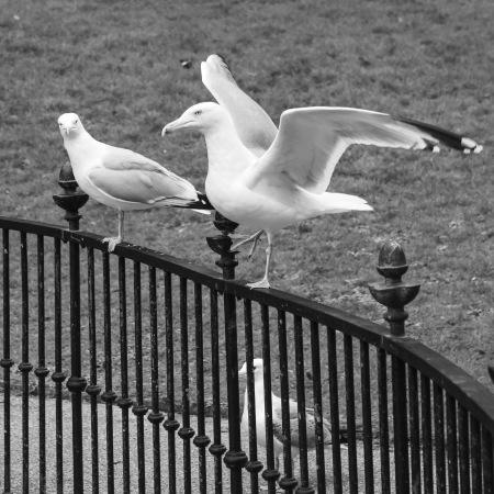 Seagulls on railings