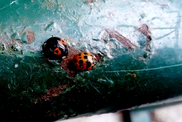2 ladybirds on a rusty pipe