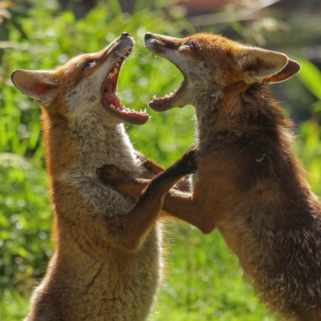 2 foxes standing on hind legs facing each other