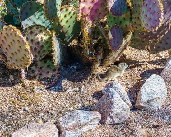 Prairie dog by cacti