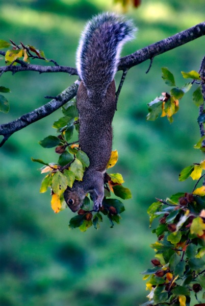 Squirrel hanging upside down from a branch