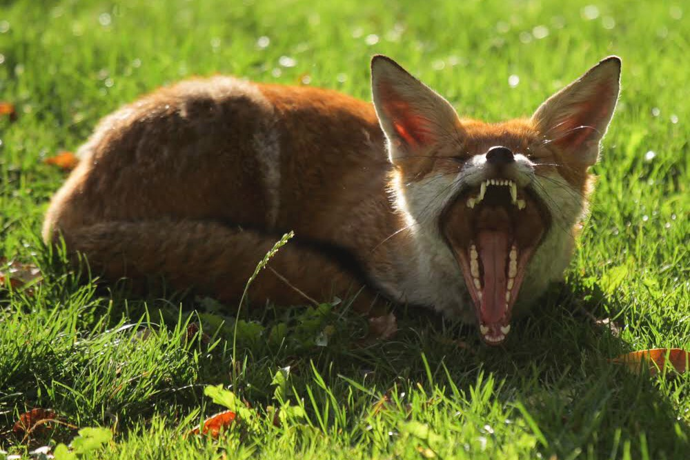 Fox with mouth stretched open