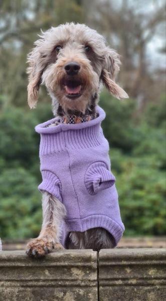 Three legged dog wearing lilac dog jumper