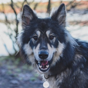 Large dog looking into camera